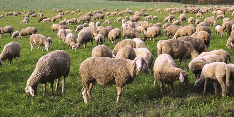 Sheep... and Most People are Followers